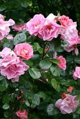разведение кустовой розы