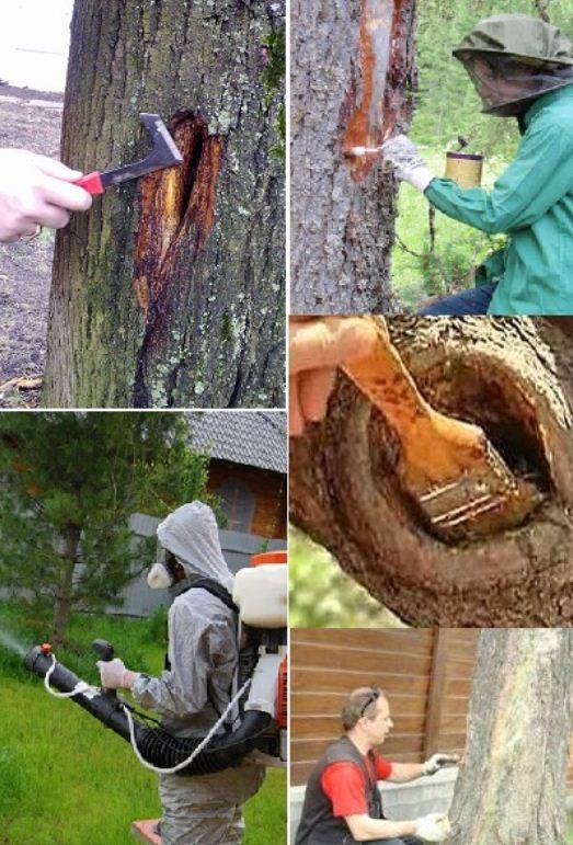 Болезни и лечение деревьев