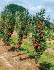 Колоновидные яблони уход