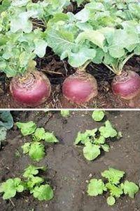 как выращивать репу