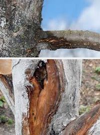 причины болезней плодовых деревьев