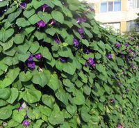 декоративные вьющиеся растения для сада фото