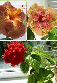 выращивание комнатной  китайской розы