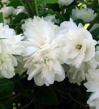 выращивание жасмина в саду
