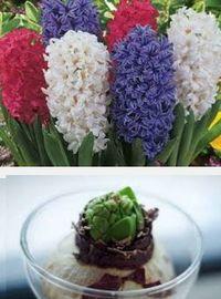 выращивание луковичных декоративных растений