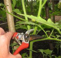 как обрезать помидоры в теплице
