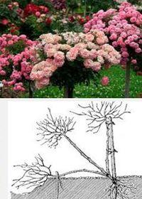 штамбовые розы как сажать и ухаживать