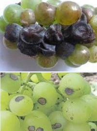 болезни винограда - серая гниль