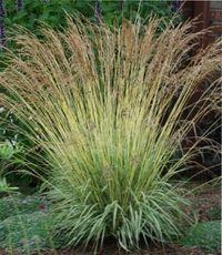 декоративные травы многолетние