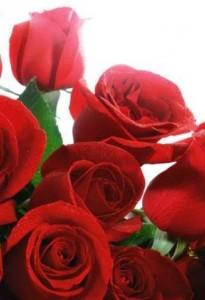 Выращивание розы дома
