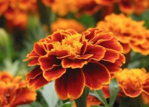 как выращивать цветы чернобривцы