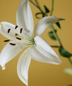 Выращивание лилии