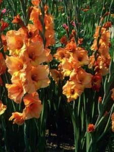 Как выращивать гладиолусы