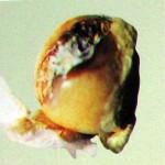 болезнь растений пенициллезная гниль