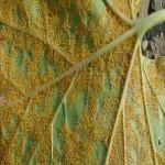 ржавчина болезнь растений