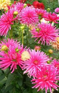 Выращивание георгинов кактусовых