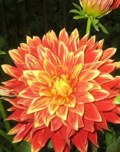 Как выращивать кактусовые георгины