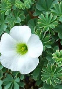 Садовая кислица, виды и выращивание