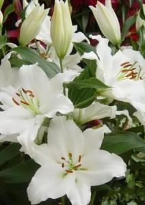 Выращивание восточных лилий гибридов