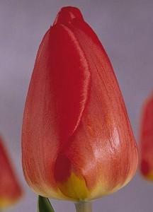тюльпаны Оксфорд