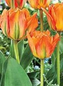 тюльпаны Оранж Эмперор
