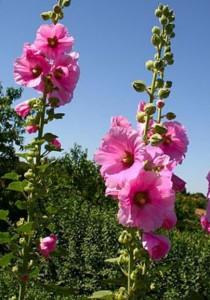 Цветы шток-розы на даче