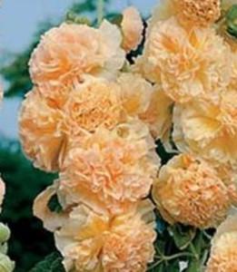 Разведение шток-розы