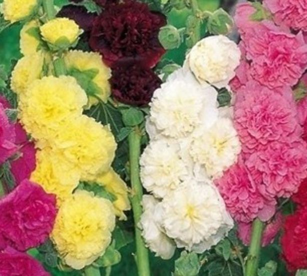 Шток роза цветы фото