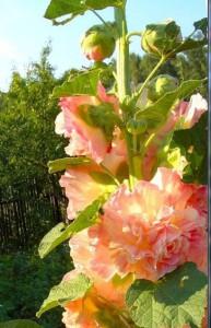 Как выращивать шток-розу