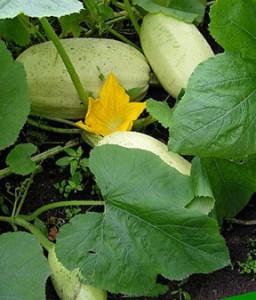 Сорта кабачков, выращивание