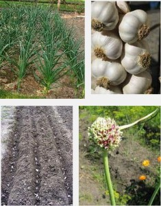 правила выращивания чеснока