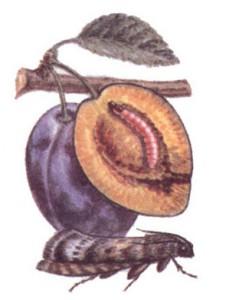 Борьба со сливовой плодожоркой
