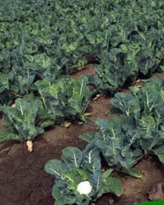 цветная капуста выращивание