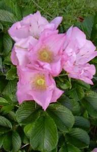 посадка розы кустовой