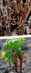 черенковое выращивание винограда