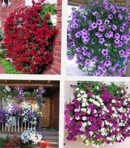 виды ампельных цветов