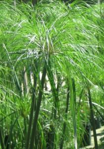Циперус папирус выращивание