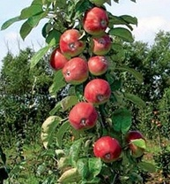 правила ухода за колоновидными яблонями