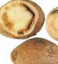 картофельный фузариоз
