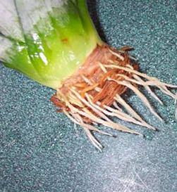 выращивание ананаса из хохолка