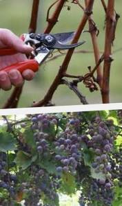 как ухаживать за виноградником