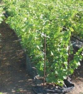 виноградник уход