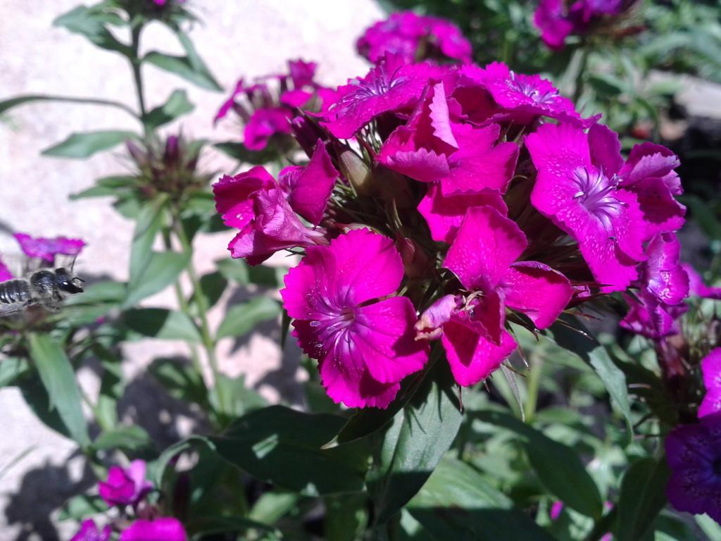 выращивание турецкой гвоздики