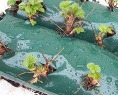 клубника круглый год выращивание