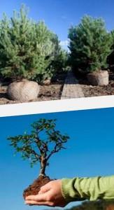 уход за пересаженными деревьями