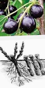 как садить черную смородину