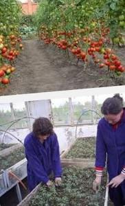 как поливать томаты