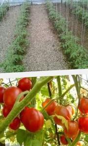 секреты ухода за томатами