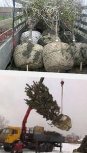 как пересаживать взрослые деревья