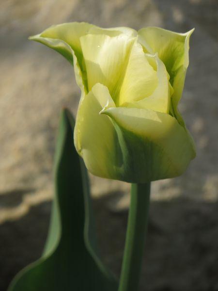 красивый желтый тюльпан